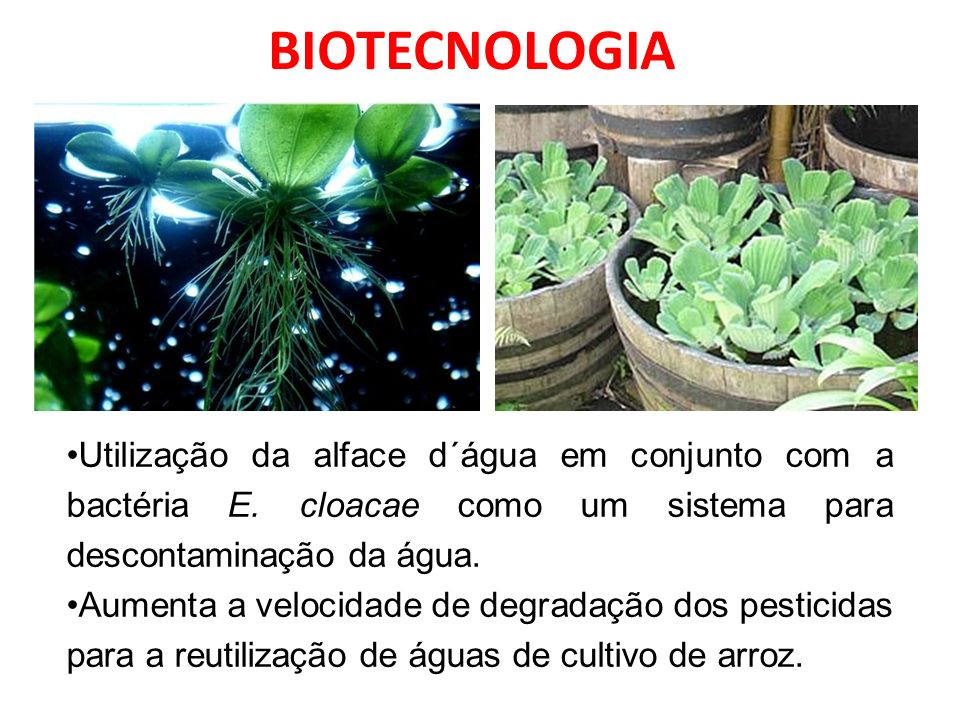 BIOTECNOLOGIA Utilização da alface d´água em conjunto com a bactéria E. cloacae como um sistema para descontaminação da água.
