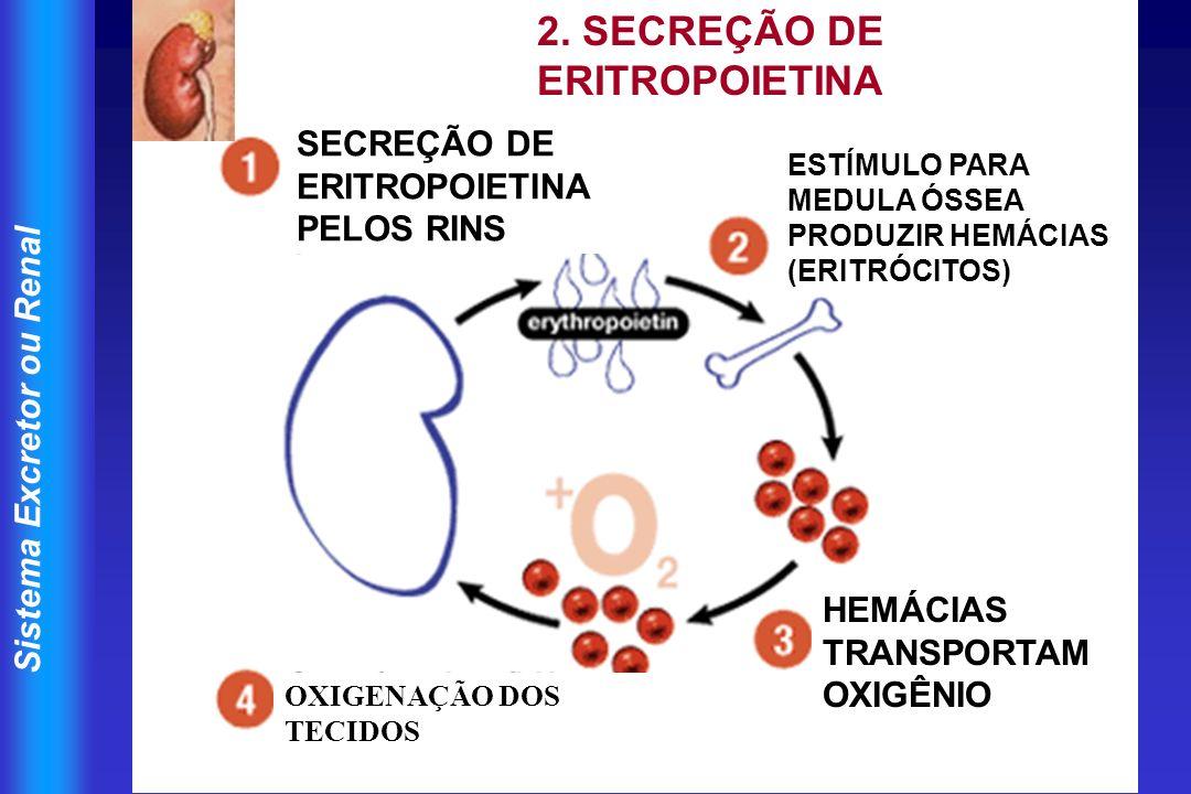 2. SECREÇÃO DE ERITROPOIETINA