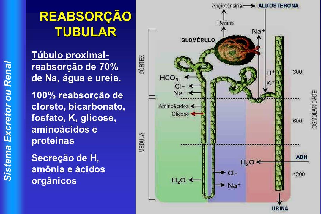 REABSORÇÃO TUBULAR Túbulo proximal- reabsorção de 70% de Na, água e ureia.