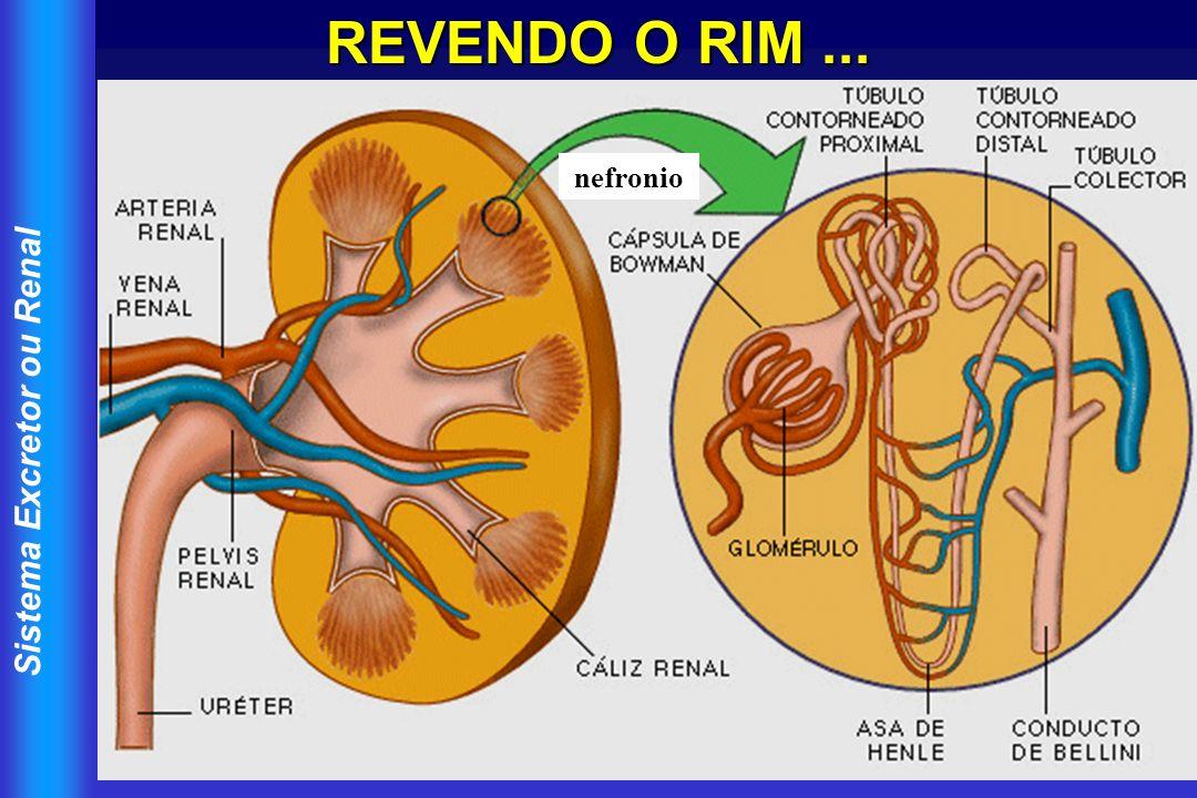 REVENDO O RIM ... nefronio