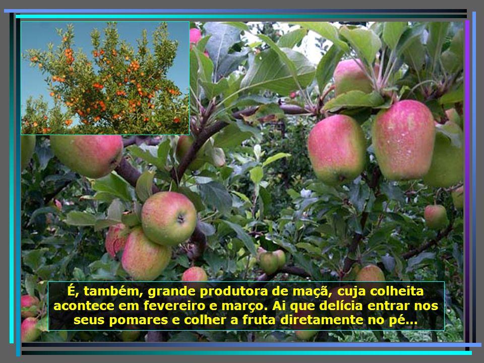P0011297 - URUBICI - PLANTAÇÃO DE MAÇÃ-650 e Maçãs da Mariléia