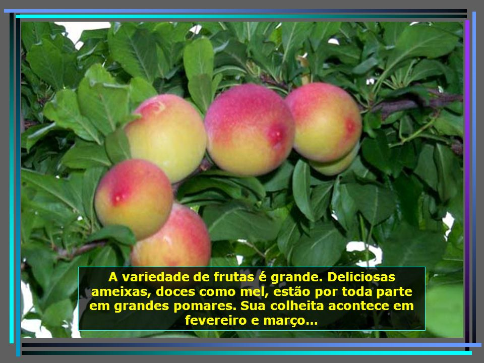 P0011304 - URUBICI - PLANTAÇÃO DE AMEIXA-650