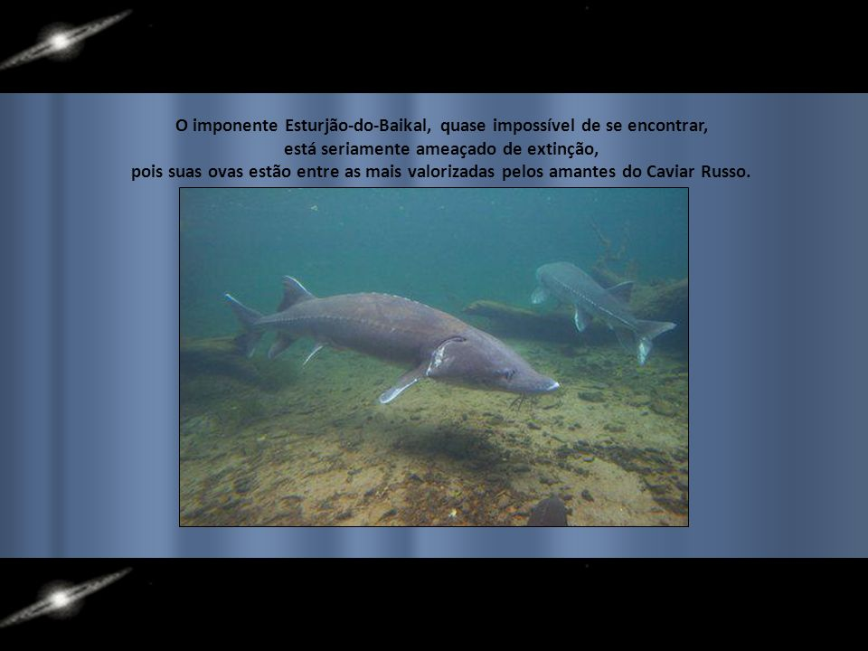 O imponente Esturjão-do-Baikal, quase impossível de se encontrar,