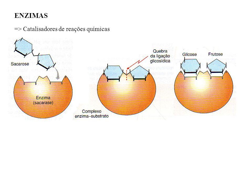 ENZIMAS => Catalisadores de reações químicas