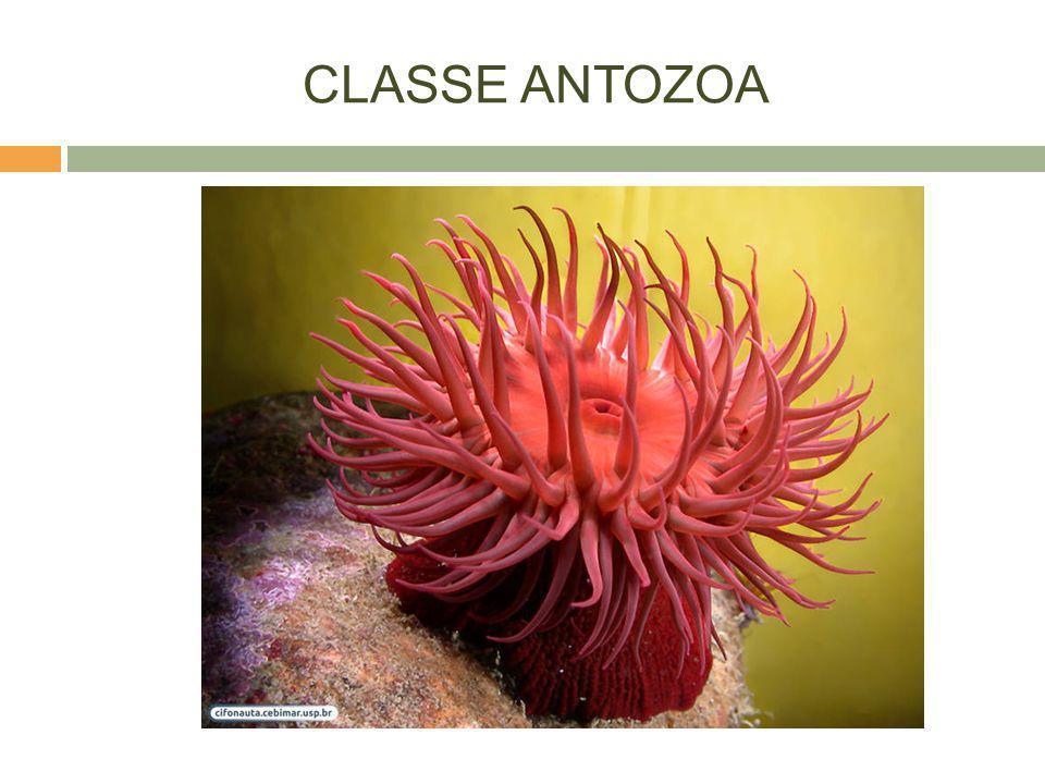 CLASSE ANTOZOA