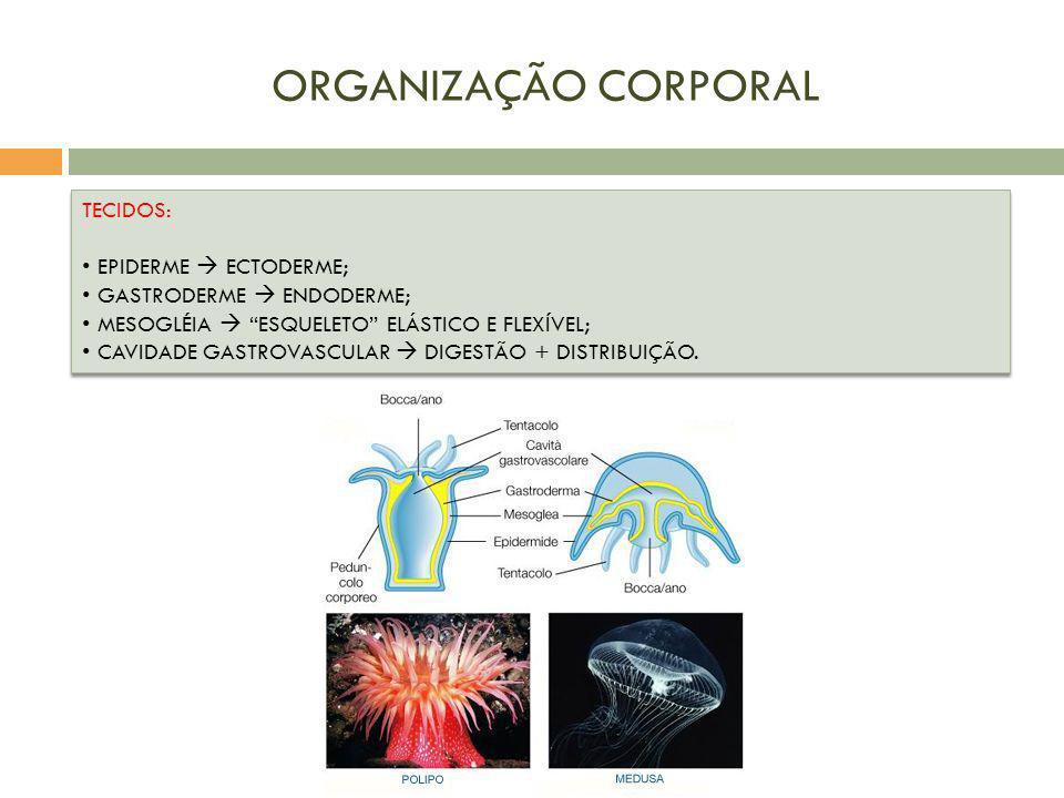 ORGANIZAÇÃO CORPORAL TECIDOS: EPIDERME  ECTODERME;