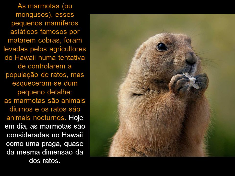As marmotas (ou mongusos), esses pequenos mamíferos asiáticos famosos por matarem cobras, foram levadas pelos agricultores do Hawaii numa tentativa de controlarem a população de ratos, mas esqueceram-se dum pequeno detalhe: as marmotas são animais diurnos e os ratos são animais nocturnos.