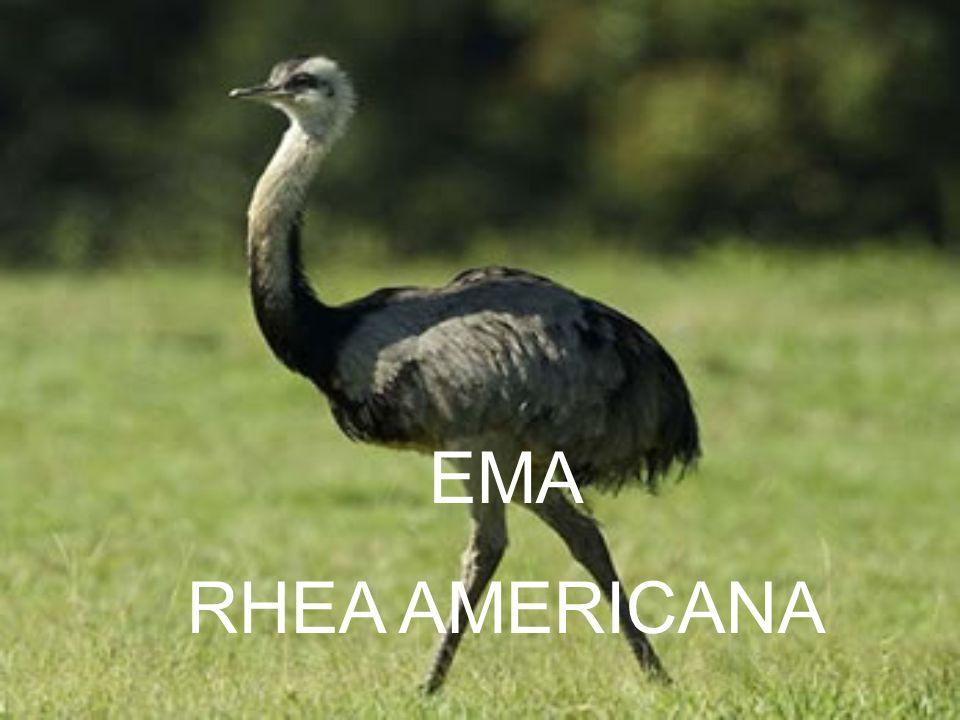 EMA RHEA AMERICANA