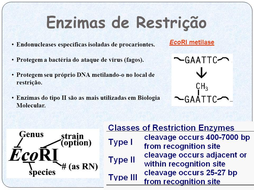 Enzimas de Restrição EcoRI metilase