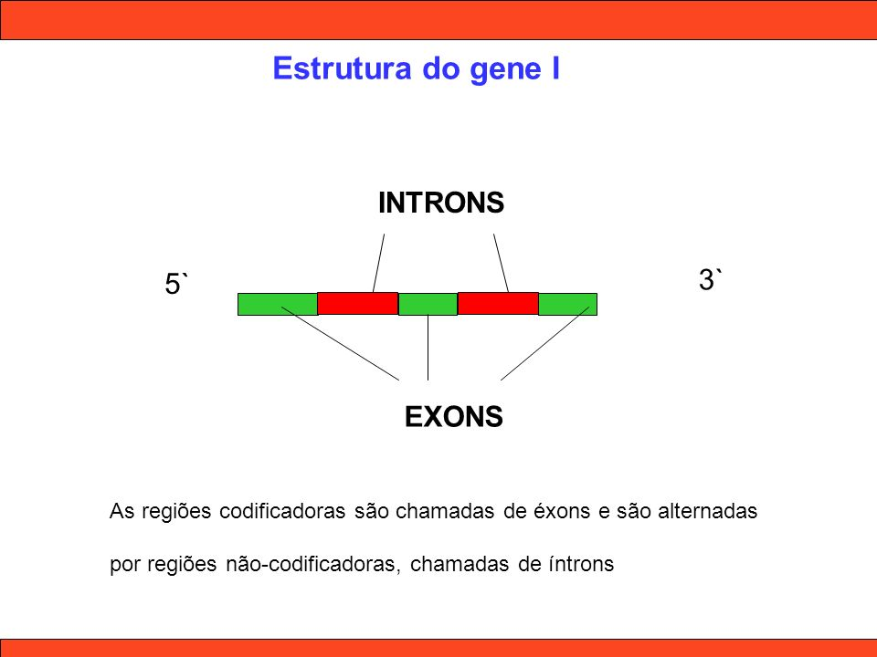 Estrutura do gene I INTRONS 3` 5` EXONS
