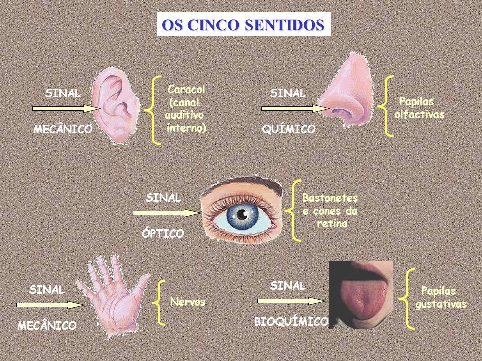 OS CINCO SENTIDOS Caracol (canal auditivo interno) SINAL SINAL Papilas