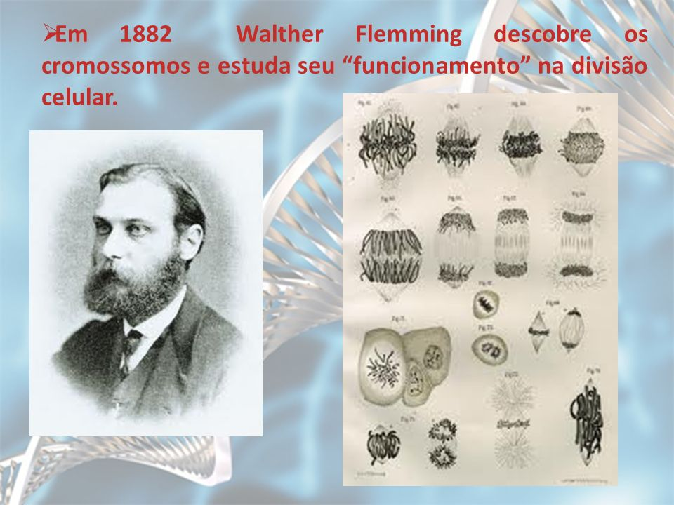 Em 1882 Walther Flemming descobre os cromossomos e estuda seu funcionamento na divisão celular.