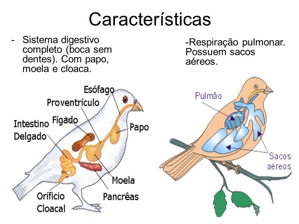Características Sistema digestivo completo (boca sem dentes).