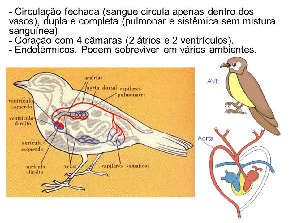 - Circulação fechada (sangue circula apenas dentro dos vasos), dupla e completa (pulmonar e sistêmica sem mistura sanguínea)