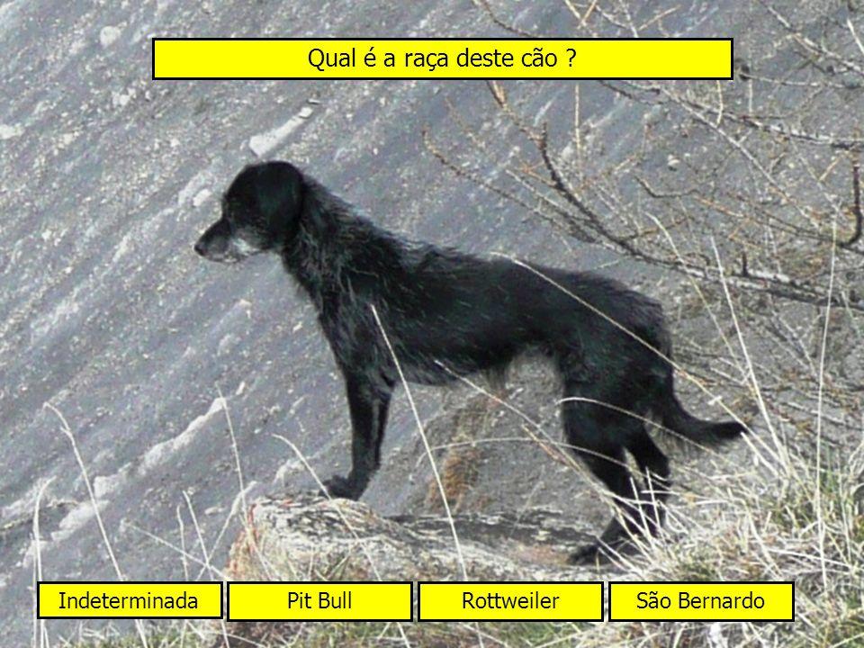 Qual é a raça deste cão Indeterminada Pit Bull Rottweiler