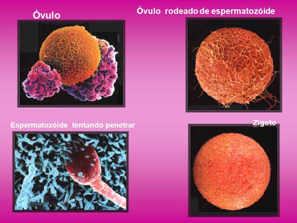 Óvulo Óvulo rodeado de espermatozóide Zigoto