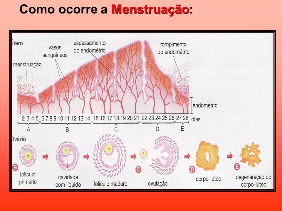 Como ocorre a Menstruação: