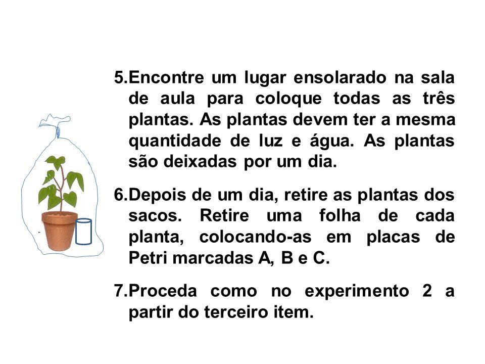 5.Encontre um lugar ensolarado na sala de aula para coloque todas as três plantas. As plantas devem ter a mesma quantidade de luz e água. As plantas são deixadas por um dia.