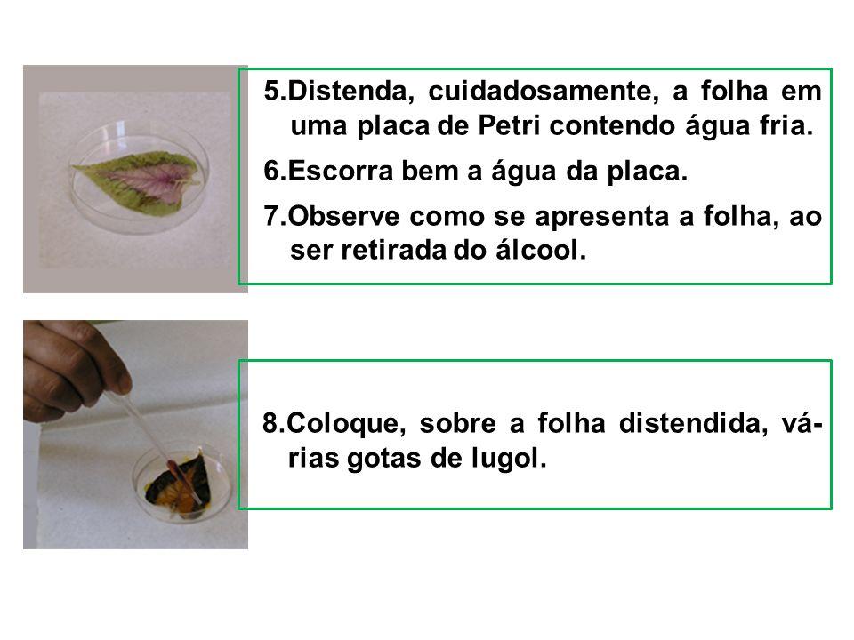 5.Distenda, cuidadosamente, a folha em uma placa de Petri contendo água fria.