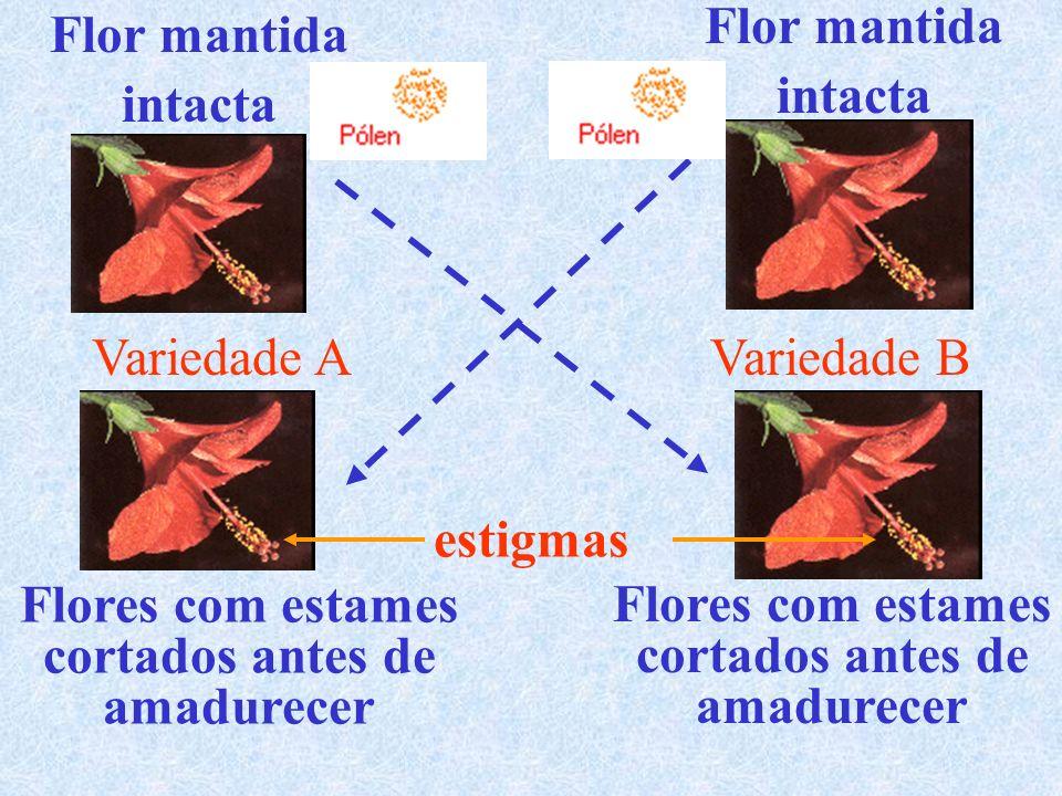 Flor mantida intacta. Flor mantida. intacta. Variedade A. Variedade B. estigmas. Flores com estames.