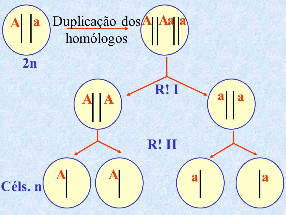 a A A a a A Duplicação dos homólogos 2n R! I a a A A R! II A A a a Céls. n