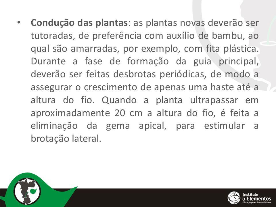 Condução das plantas: as plantas novas deverão ser tutoradas, de preferência com auxílio de bambu, ao qual são amarradas, por exemplo, com fita plástica.