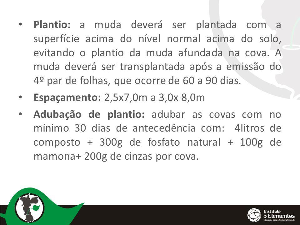Plantio: a muda deverá ser plantada com a superfície acima do nível normal acima do solo, evitando o plantio da muda afundada na cova. A muda deverá ser transplantada após a emissão do 4º par de folhas, que ocorre de 60 a 90 dias.
