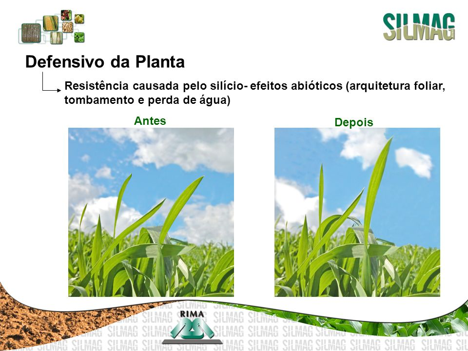 Defensivo da Planta Resistência causada pelo silício- efeitos abióticos (arquitetura foliar, tombamento e perda de água)