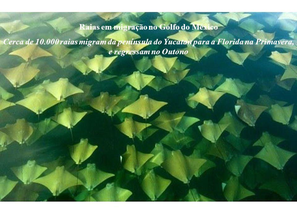 Raias em migração no Golfo do México