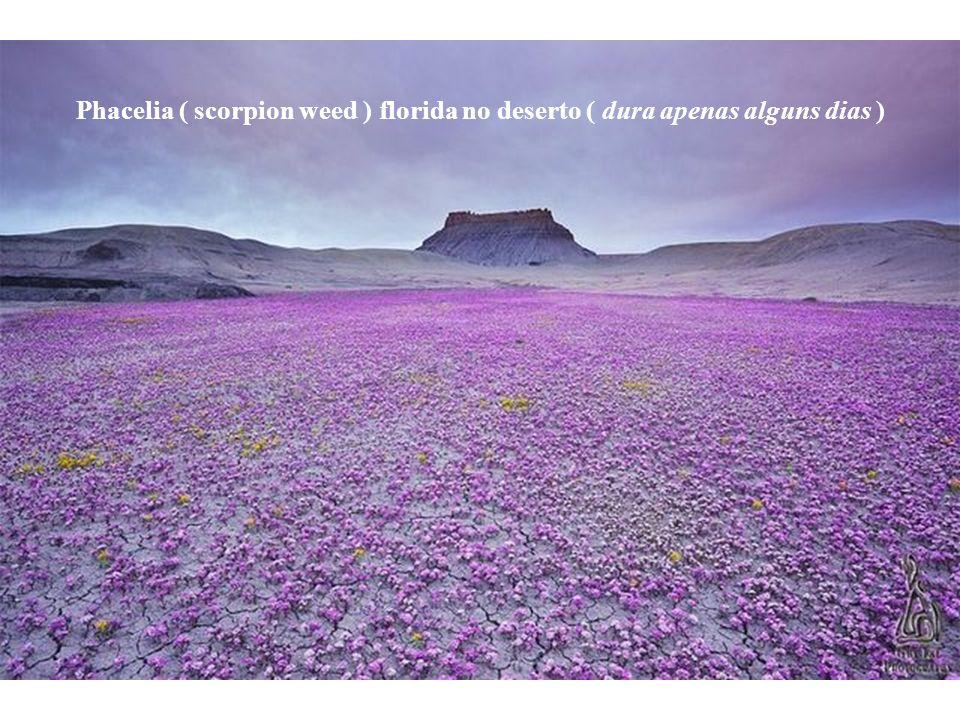 Phacelia ( scorpion weed ) florida no deserto ( dura apenas alguns dias )