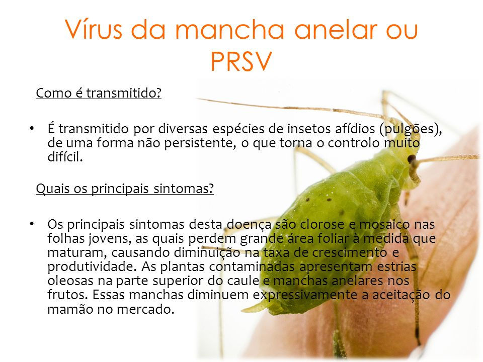 Vírus da mancha anelar ou PRSV