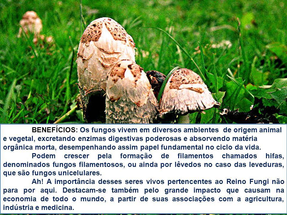 BENEFÍCIOS: Os fungos vivem em diversos ambientes de origem animal e vegetal, excretando enzimas digestivas poderosas e absorvendo matéria orgânica morta, desempenhando assim papel fundamental no ciclo da vida.