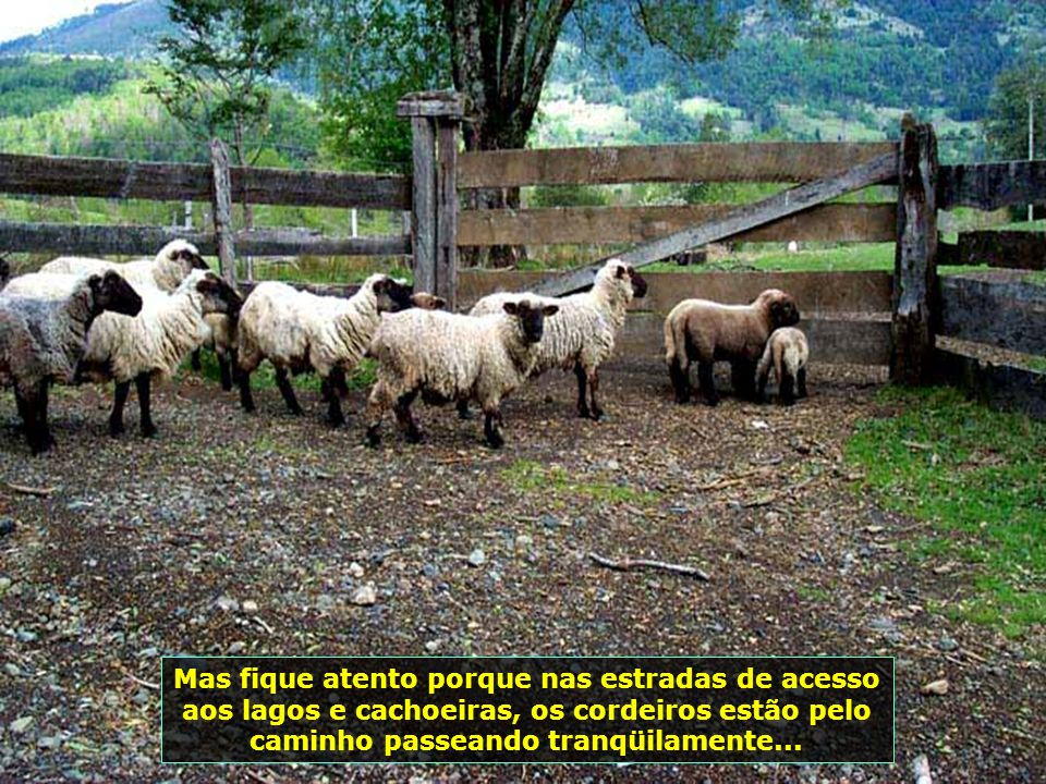 P0009026 - CHILE-PUCON - OVELHAS NA ESTRADA