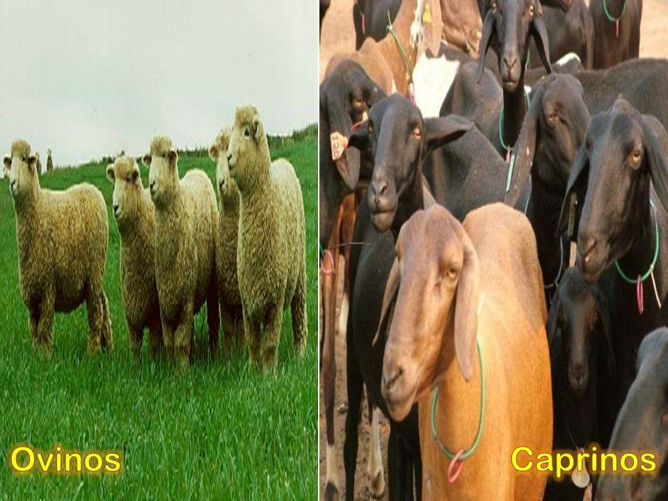 Ovinos Caprinos