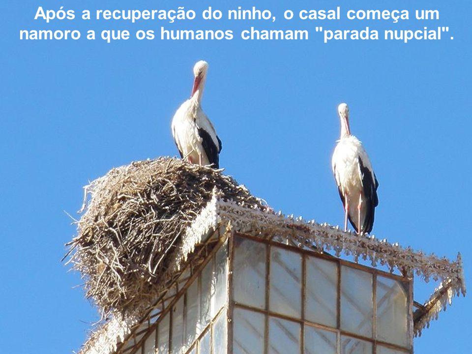 Após a recuperação do ninho, o casal começa um namoro a que os humanos chamam parada nupcial .