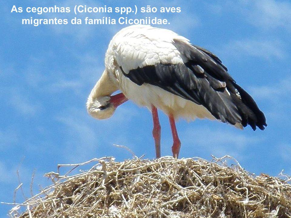 As cegonhas (Ciconia spp.) são aves migrantes da família Ciconiidae.