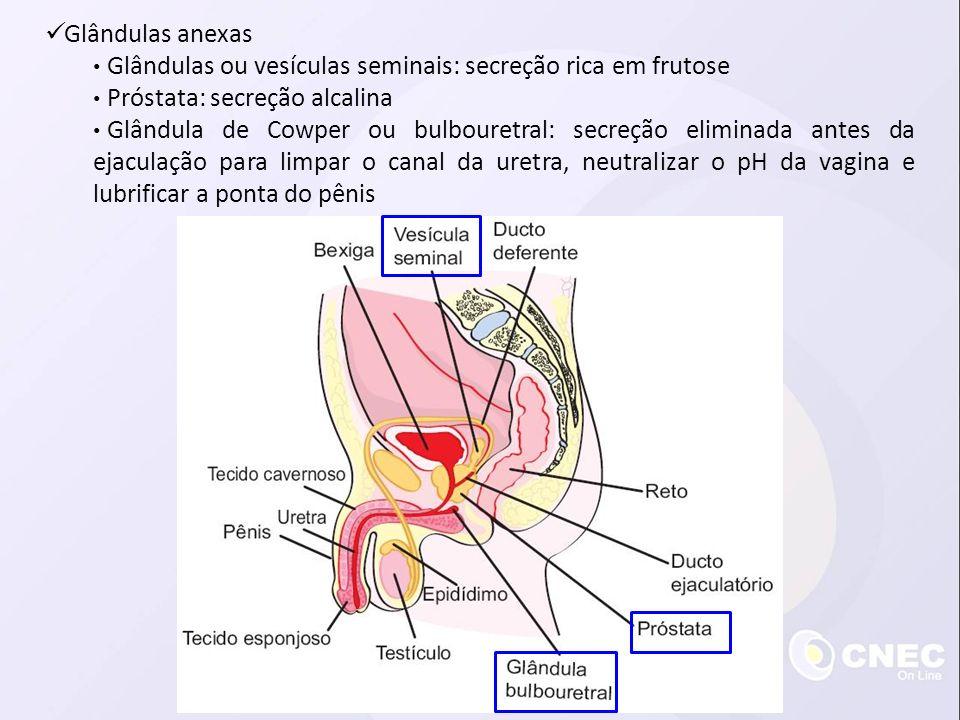 Glândulas anexas Glândulas ou vesículas seminais: secreção rica em frutose. Próstata: secreção alcalina.