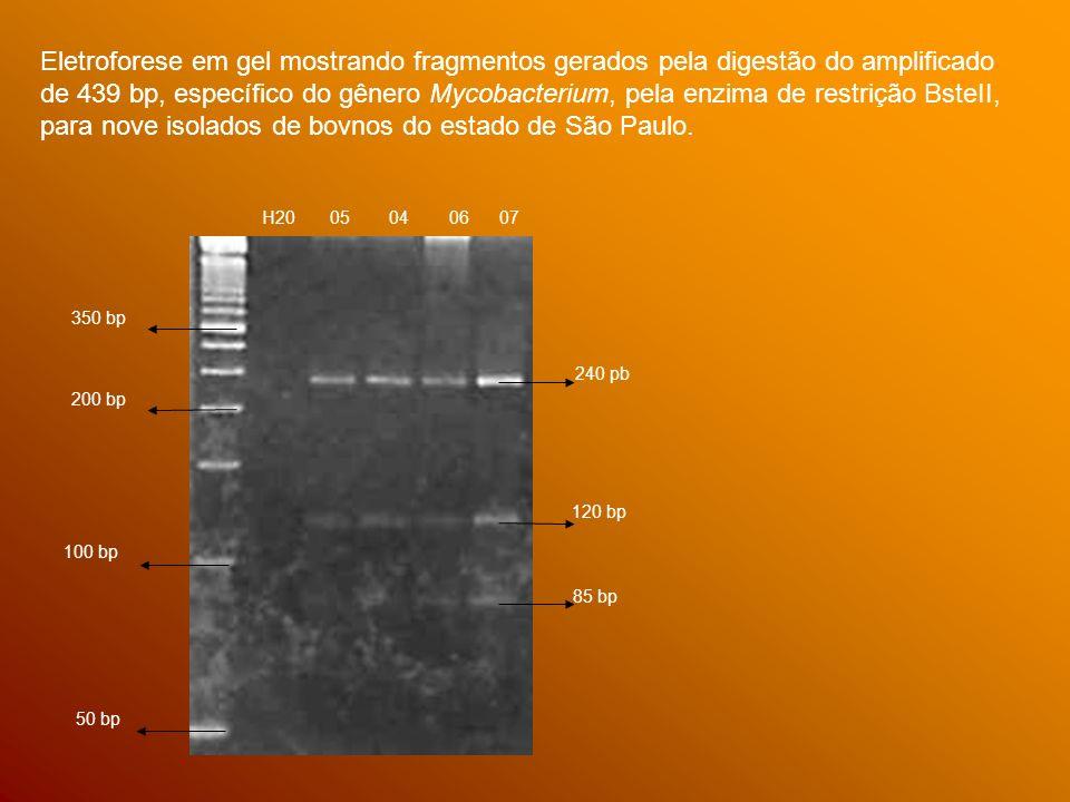 Eletroforese em gel mostrando fragmentos gerados pela digestão do amplificado de 439 bp, específico do gênero Mycobacterium, pela enzima de restrição BsteII, para nove isolados de bovnos do estado de São Paulo.