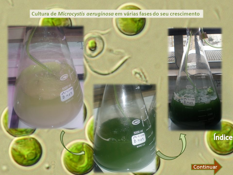 Cultura de Microcystis aeruginosa em várias fases do seu crescimento