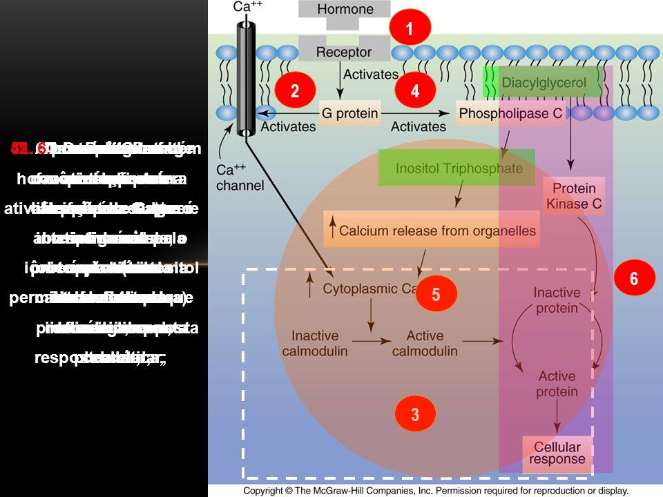 1 2. 4. O complexo hormônio-receptor ativa a proteína G que abre os canais iônicos da célula permitindo a entrada do cálcio;