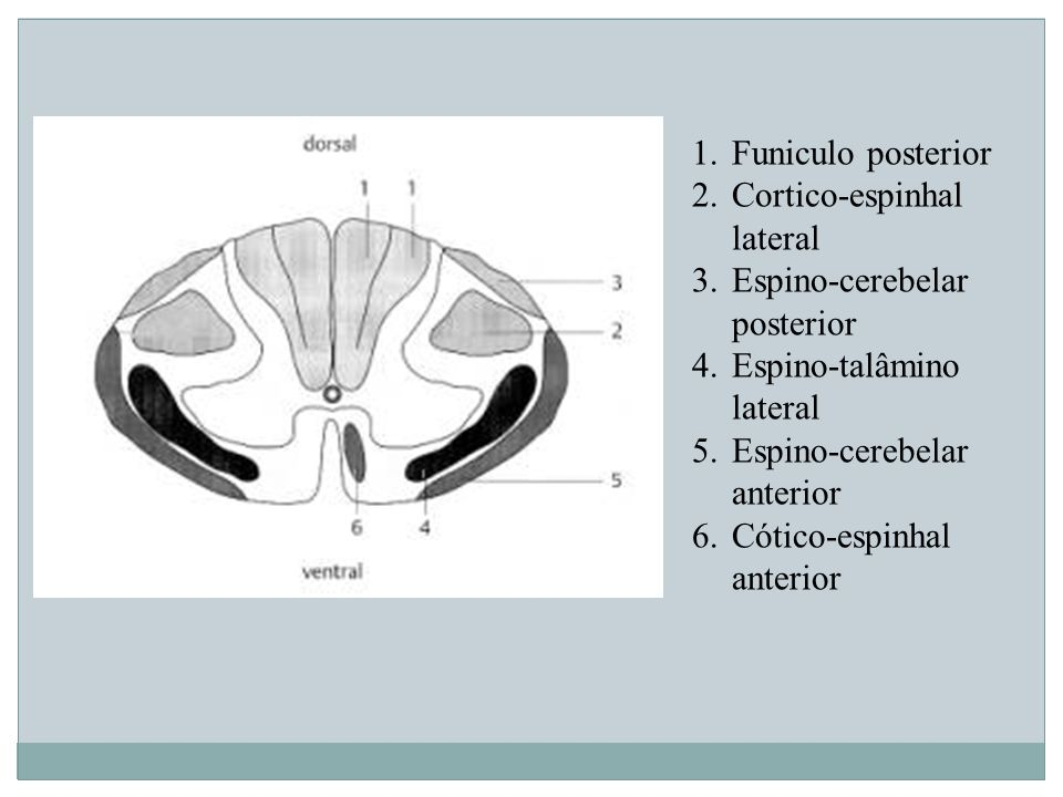 Funiculo posterior Cortico-espinhal lateral. Espino-cerebelar posterior. Espino-talâmino lateral.
