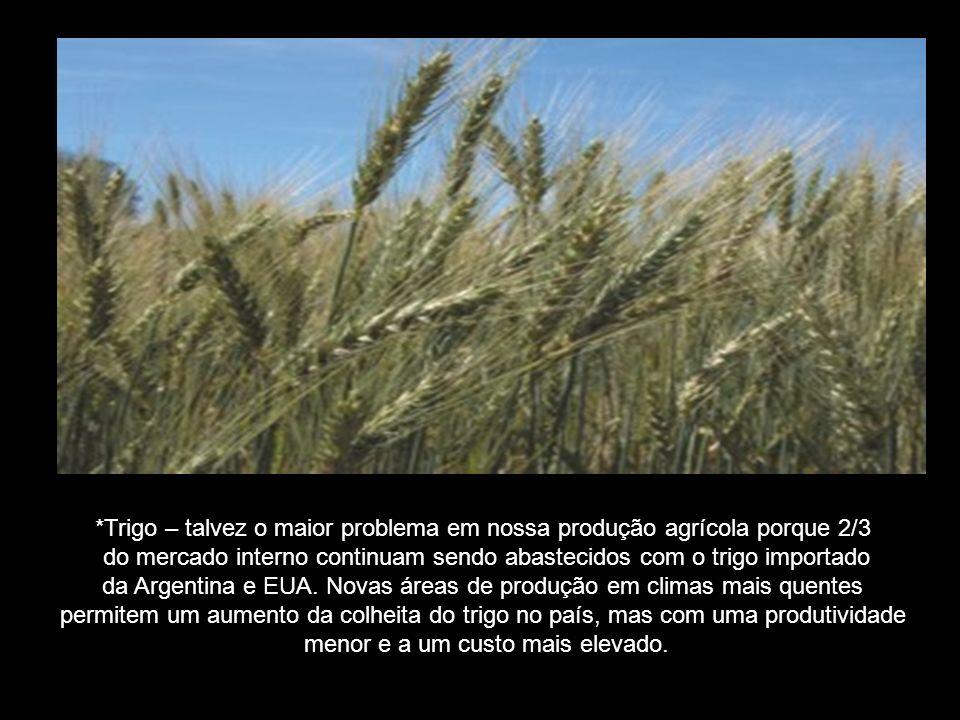 *Trigo – talvez o maior problema em nossa produção agrícola porque 2/3