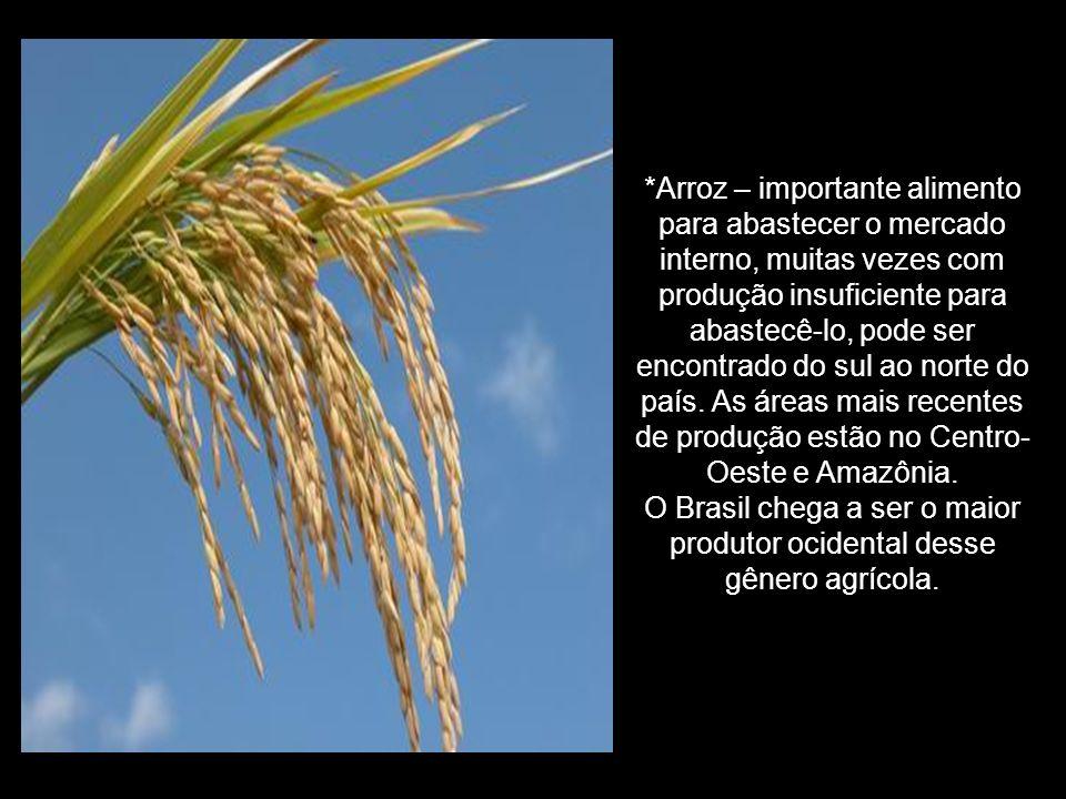 O Brasil chega a ser o maior produtor ocidental desse gênero agrícola.