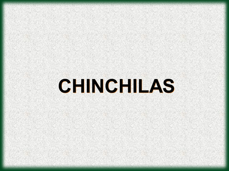 CHINCHILAS
