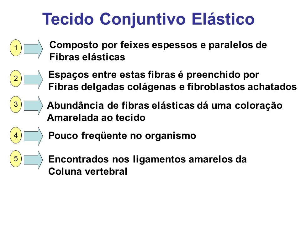 Tecido Conjuntivo Elástico