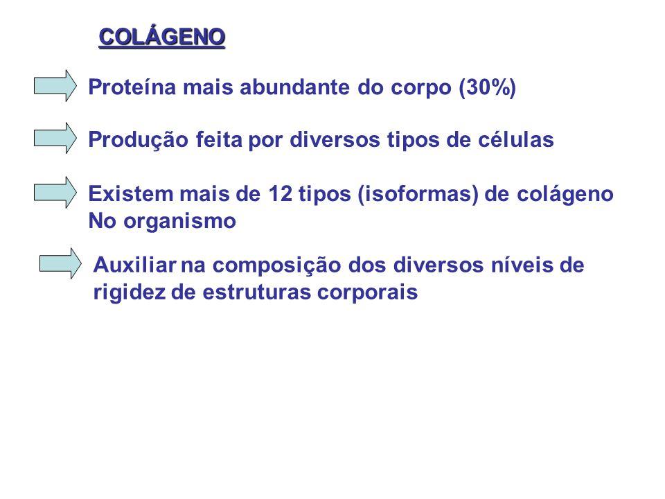 COLÁGENO Proteína mais abundante do corpo (30%) Produção feita por diversos tipos de células. Existem mais de 12 tipos (isoformas) de colágeno.