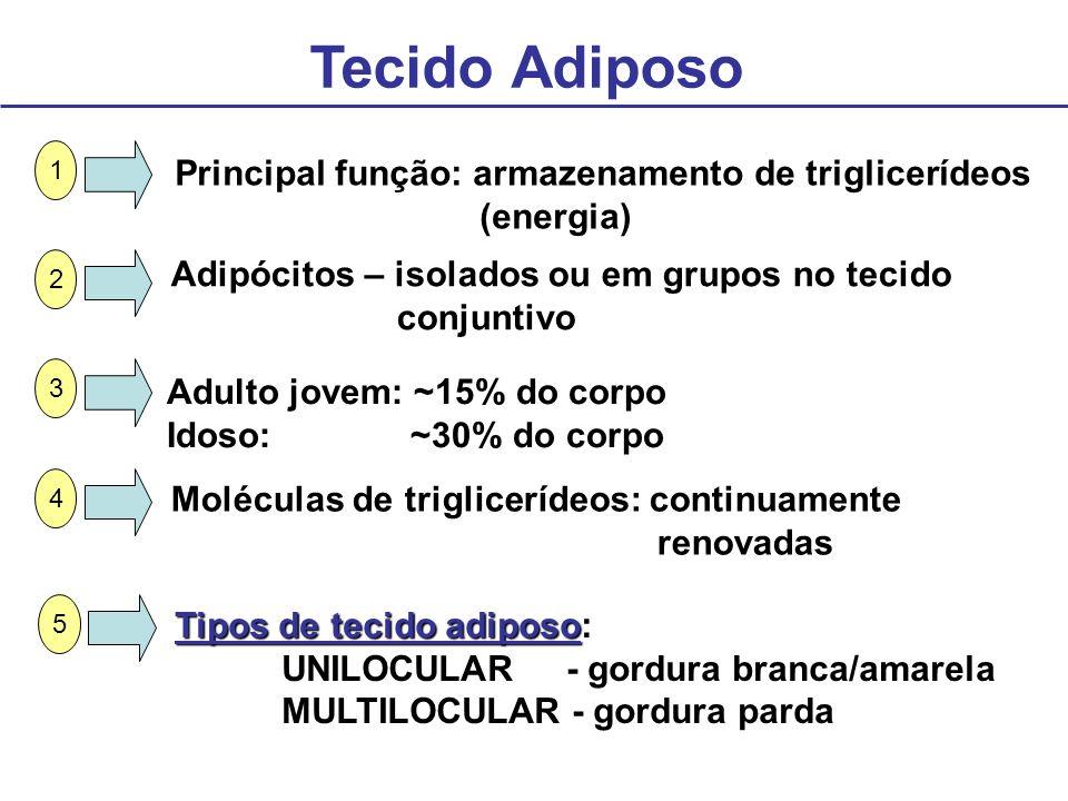 Tecido Adiposo Principal função: armazenamento de triglicerídeos