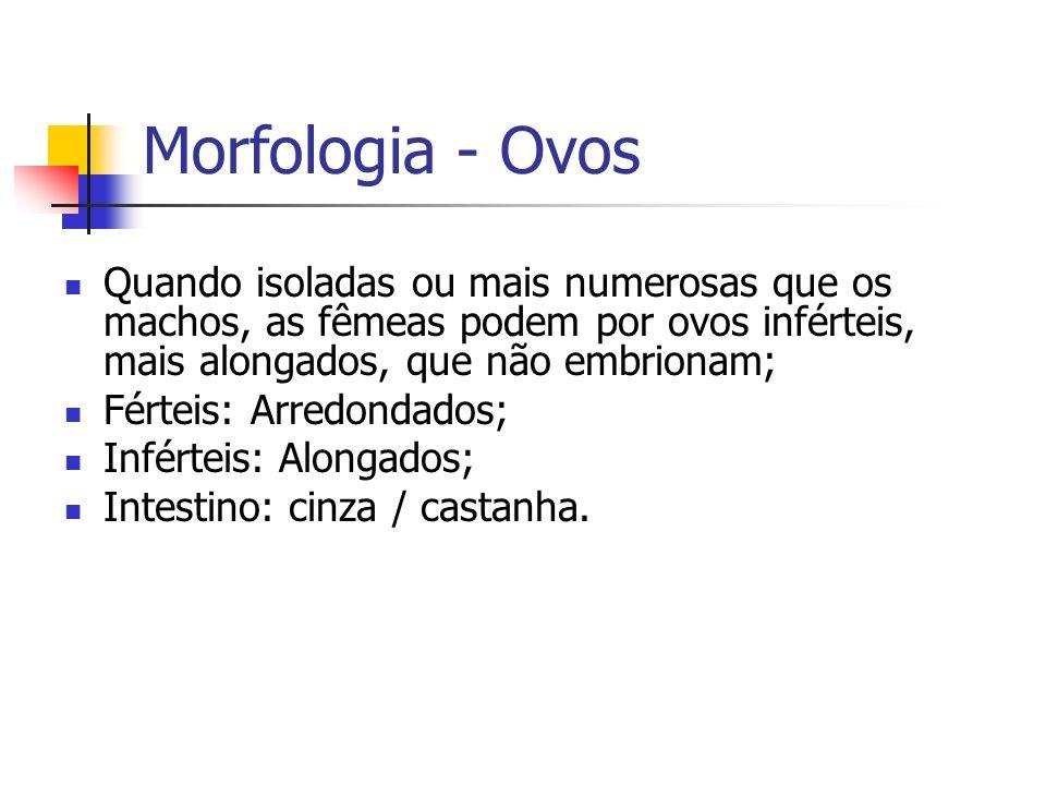 Morfologia - Ovos Quando isoladas ou mais numerosas que os machos, as fêmeas podem por ovos inférteis, mais alongados, que não embrionam;
