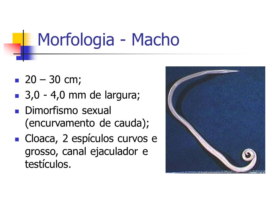 Morfologia - Macho 20 – 30 cm; 3,0 - 4,0 mm de largura;