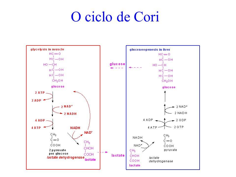 O ciclo de Cori